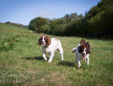 Springer Spaniels Running Through Field
