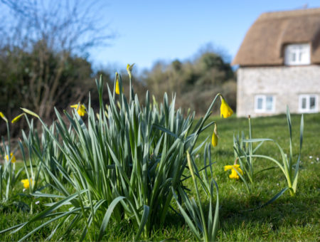 Daffodils near Pitt Cottage before Easter