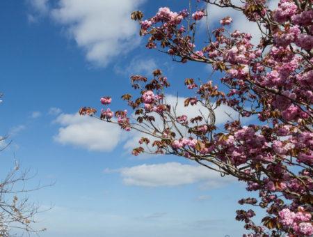 Cherry Blossom in Dorset